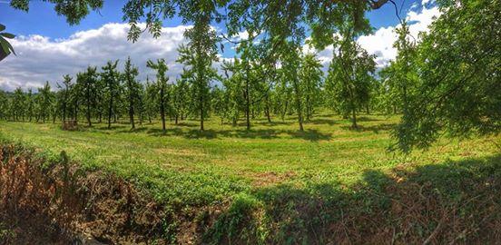 cider apple orchard